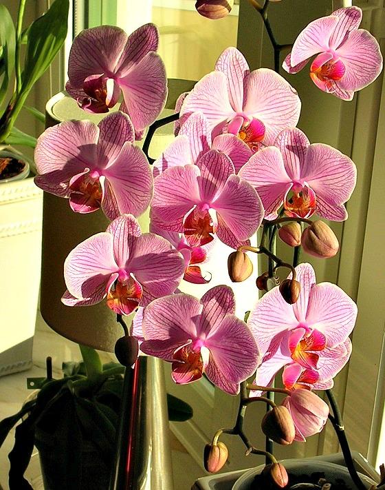 Phalaenopsis - en lättodlad krukväxt