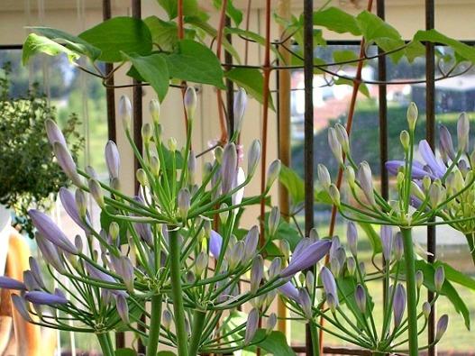 Agapanthus i kruka på balkong