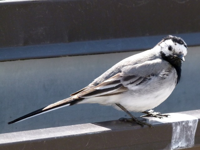 wagtail-787583_1920