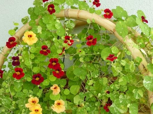 Krasse -, busk-, ampel-, och/eller slinger - på balkong