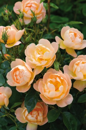 A delightfully different English rose, 'The Lark Ascending' has medium-sized, semi-double flowers of just 22 petals each in a soft, warm apricot hue that softens over time. The petals are loosely cupped, and surround many stamens of deep golden-apricot. On the bush, the roses are produced from the ground upwards in heads of up to 15 nicely spaced blooms. The light fragrance varies according to the age of the flower, from Tea through to Myrrh. Choose 'The Lark Ascending' for a mixed perennial border or to feature among flowering shrubs where its tall airy growth will meld beautifully. It is vigorous and has exceptional health. Approximately 22 petals per flower. Grows to 5 feet tall x 3 feet wide. (David Austin 2012, Ausursula.)