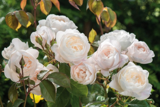 New for Spring 2017: David Austin Roses introduces 'Desdemona', a voluptuous new white English Rose with an exceptionally long bloom season. The new rose is hardy in USDA Zones 5 - 10 and will fare well in both hot/humid and hot/dry conditions. Its strong fragrance is complex: Old Rose and almond blossom with hints of lemon zest and cucumber. For Spring 2017, it is available in the U.S. and Canada as bare root stock from 800-328-8893 or DavidAustinRoses.com.