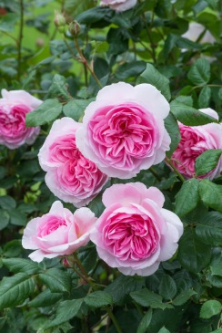 New for Spring 2017: 'The Ancient Mariner', a tall repeat-blooming English Rose from David Austin Roses. For gardeners, it's a perfect choice for the middle or back of a border or use as a larger landscape shrub rose. Its big, many-petalled flowers have a strong myrrh fragrance. 'The Ancient Mariner' is covered with blooms from late spring through frost. After bloom, the spent petals fall cleanly away. Available in the U.S. and Canada as bare root stock from 800-328-8893 or DavidAustinRoses.com.