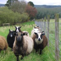 576px-Flock_of_shetland_sheep