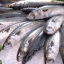 More than half of the Shetland catch by weight and value is mackerel