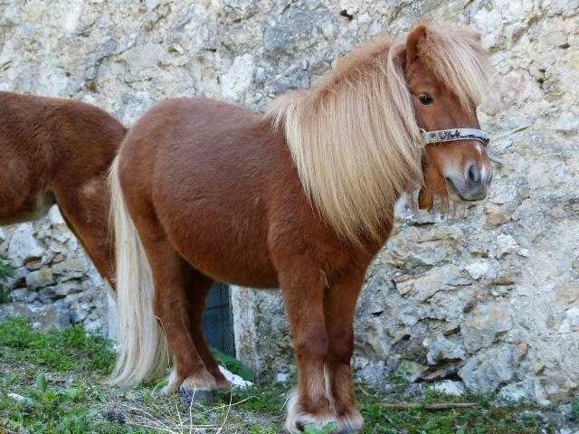 shetland-pony-357756_1920