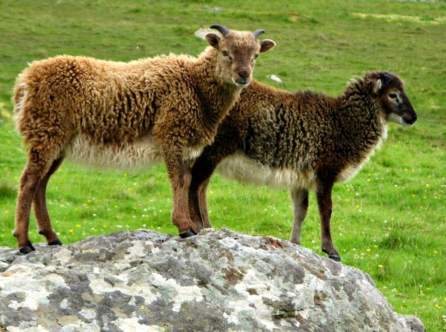 Soay_lambs_on_HirtaAttribution Eileen Hendersonpm