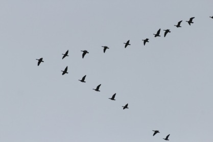geese-245636_1920