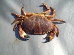 crab-387132_1920