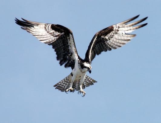 osprey-67786_640