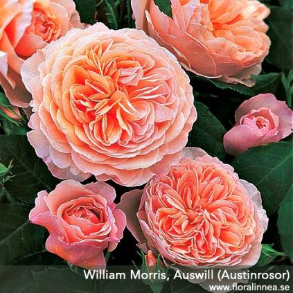 William Morris - buskros