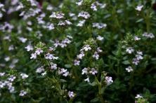 Blommande timjan