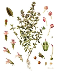 Ur Köhlers medicinalväxter planscher