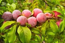 plums-71690_640
