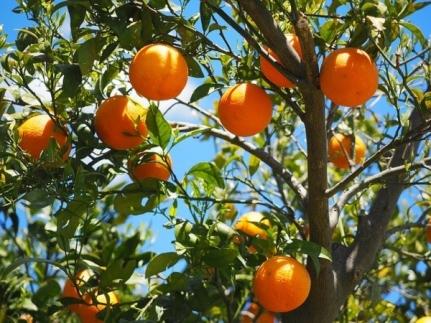 oranges-1117628_640a